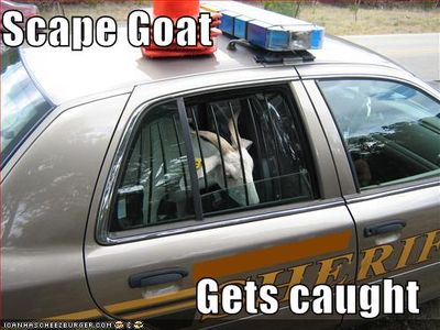 Scape-goat-gets-caught