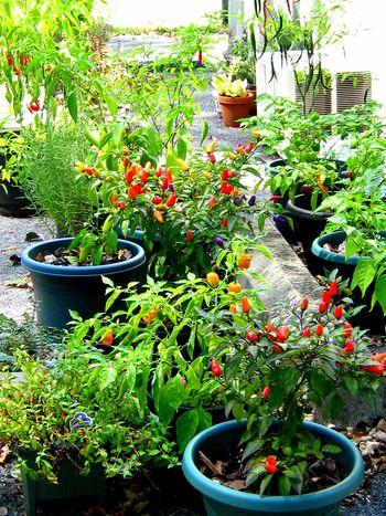 Pepper.garden.9.18
