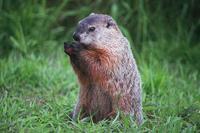 groundhog-16_13